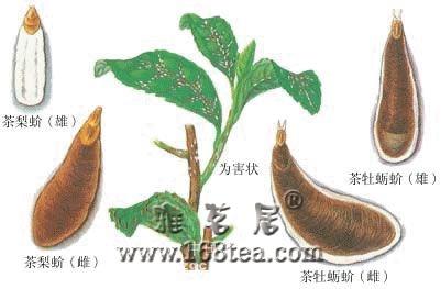 茶树根部主要病害及其防治
