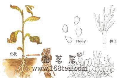 茶苗白绢病防治方法