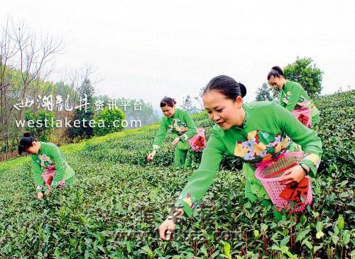 灵山丰塘镇茶农靠茶叶种植走上致富路