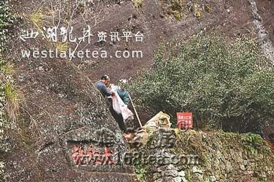 茶叶技术人员养护武夷山母树大红袍