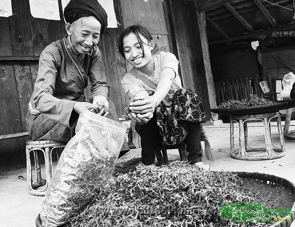景迈古茶让布朗族群众致富