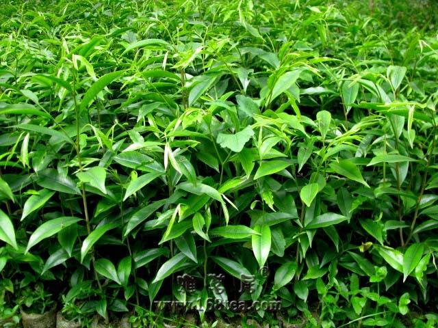 沉香的种植方法