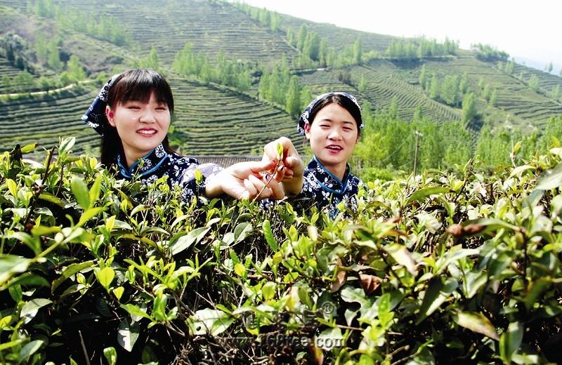 """湖北郧西:用心做好""""茶""""文章"""