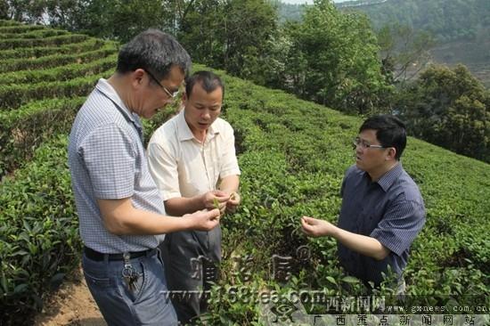 广西凌云政协助推茶乡产业发展纪实