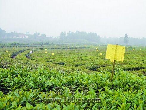 """河南信阳生态茶叶基地推行""""绿色杀虫"""""""