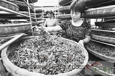 江苏连云港3万亩秋茶陆续开采