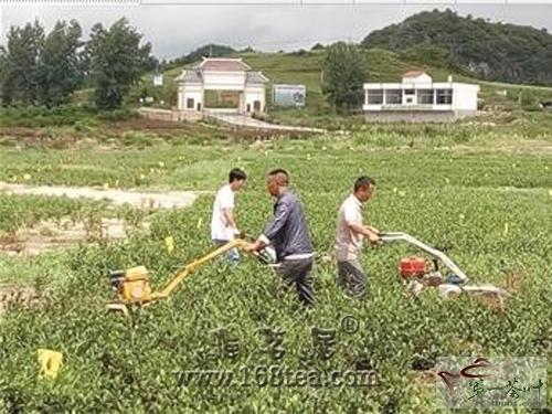 贵州安顺夏秋茶茶园管理和生产加工拉开序幕