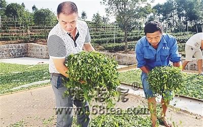 武夷山市高级制茶师向四川茶农传授制茶技艺