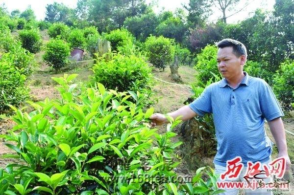 """肇庆德庆单枞茶种植产业发展迅速 村民""""种茶得金"""""""