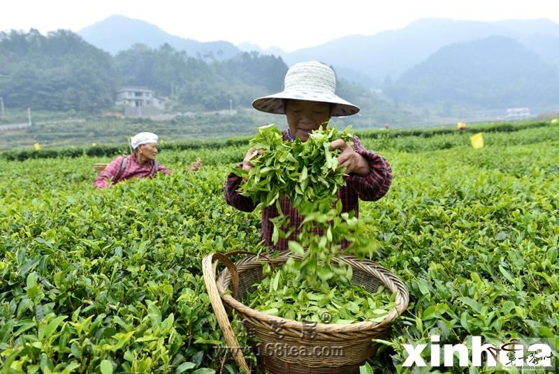 湖北宣恩:秋茶采摘忙