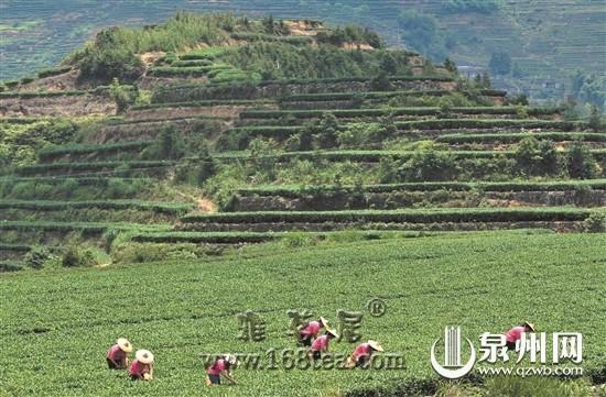 福建泉州:科技引领茶产业发展新方向