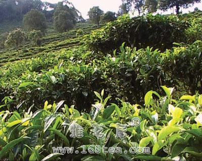中国最古老的茶山介绍