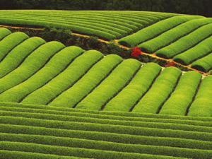 中国茶叶分类