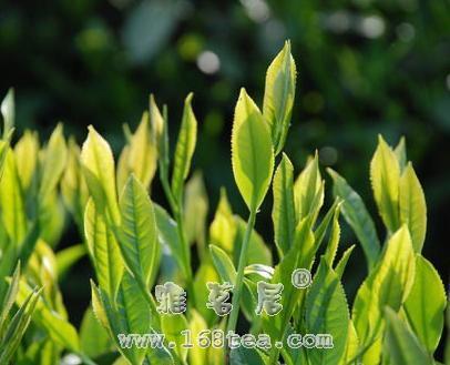 黄山毛峰|安徽名茶