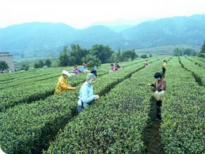 桂平西山茶|广西名茶