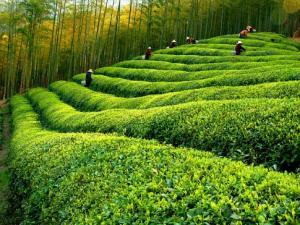径山茶|浙江名茶