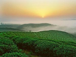午子仙毫|陕西名茶
