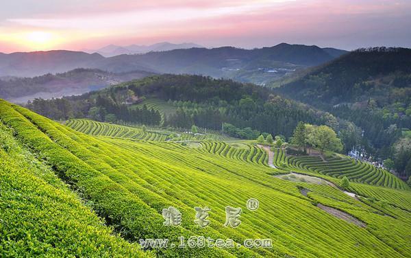 天山绿茶|福建名茶