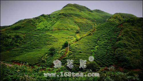 岳麓毛尖|湖南名茶