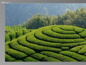 五盖山米茶|湖南名茶