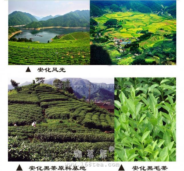 特级芽尖黑茶|黑茶品种