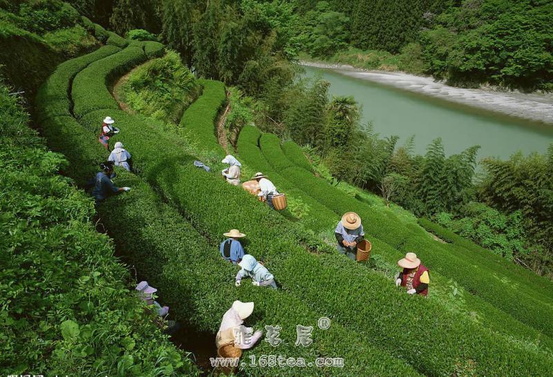 天尖茶、贡尖茶、生尖茶分类区别|黑茶品种