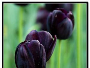鉴别染色黑珍珠的方法