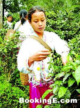 布朗族的饮茶风俗--青竹茶介绍