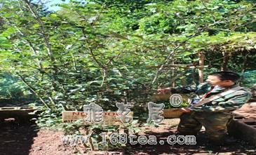 抢茶版《24小时》正在上演 七年积攒曼松贡茶7200元/套预售仅此一天