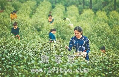 """江苏镇江引种的""""浙农139""""特早芽茶进入采摘期"""