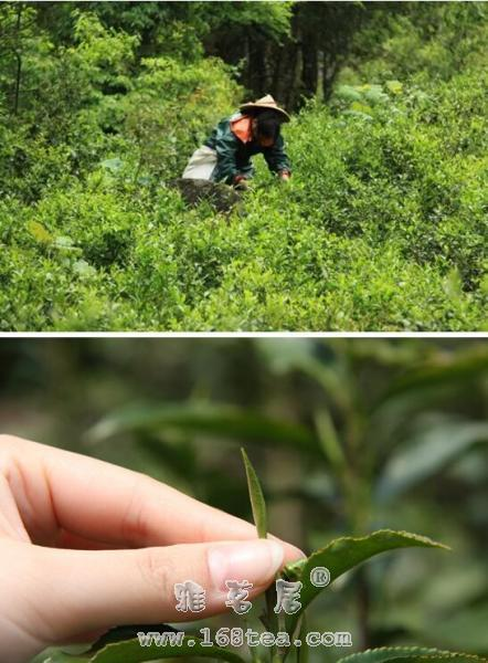 从金骏眉市场乱象 看红茶行业知识产权保护的不足