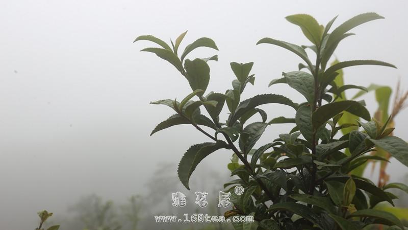 荒山野韵——一款颠覆安化黑茶印象的野放茶