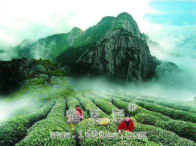 白芽奇兰茶的传说|民间故事