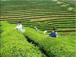 白芽奇兰茶:冲刺平和第二枚中国驰名商标
