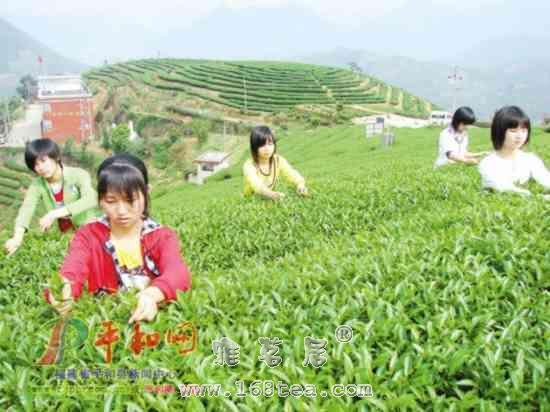 白芽奇兰是什么茶?白芽奇兰茶有什么特点?