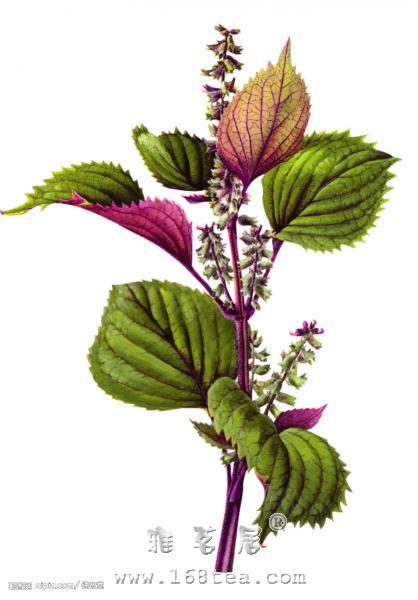 芳香植物:紫苏| 紫苏的功效