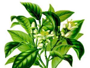 芳香植物:佛手柑|佛手柑精油