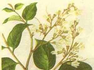 芳香植物:安息香| 安息香精油