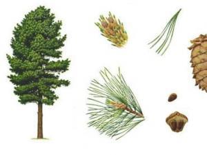 芳香植物:杉木(雪松、云杉)