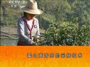 霍山黄芽茶的采摘技术