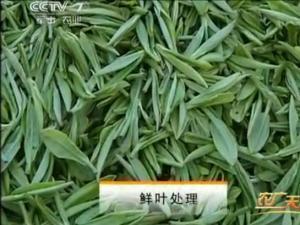 霍山黄芽茶的传统手工制作1:鲜叶处理