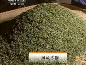 霍山黄芽茶的传统手工制作6:摊放拣剔