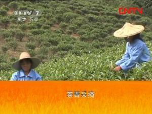 漳平水仙茶加工工艺1:茶青采摘标准、采摘技术
