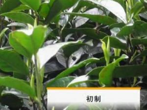 云南滇红茶加工工艺—初制工艺