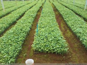 沉香的栽培技术|沉香种植