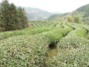 武夷岩茶肉桂茶园