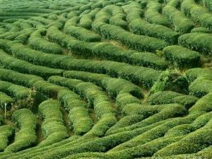 赏茶山一角图片