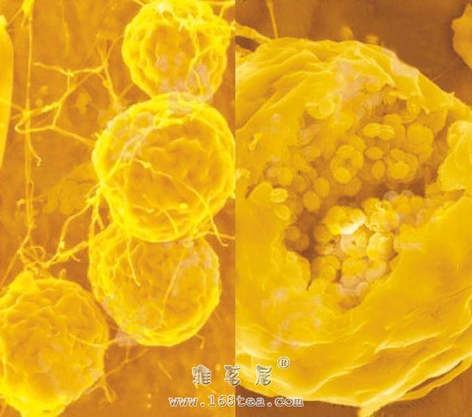 茯砖茶中冠突散囊菌的研究进展(叶聿程/茶论文)